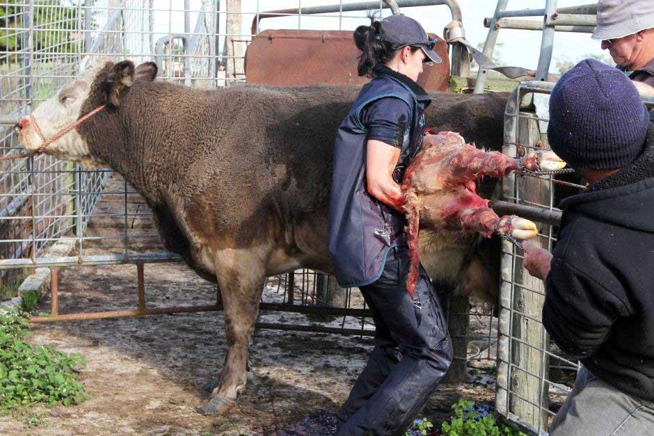 عمل سزارین در گاو و گوسفند