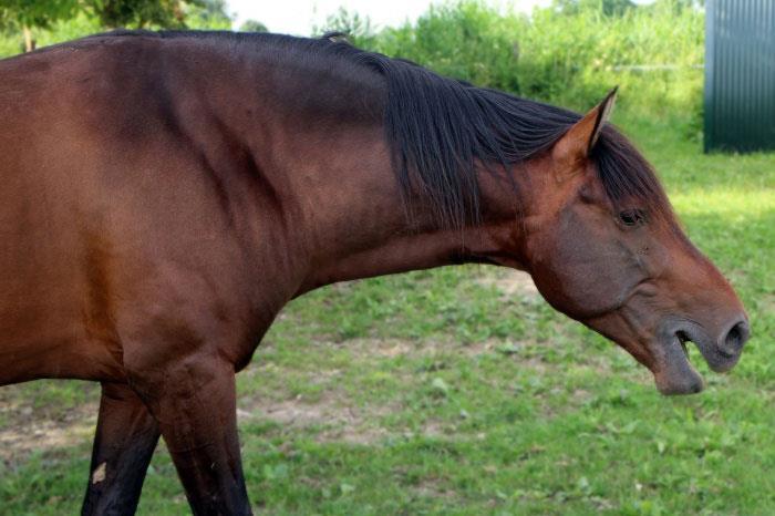 انسداد حاد مری در اسب