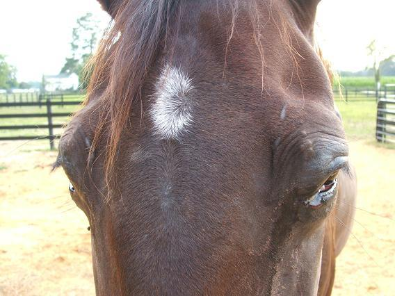 انباشتگی چرک در سینوس اسب