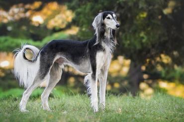 تاریخچه سگ نژاد سالوکی