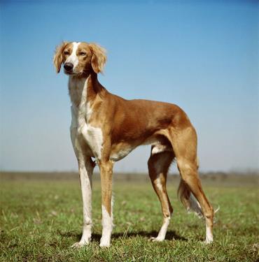 سگ ایرانی سالوکی