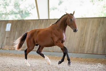 اسب دنیش وارم بلاد