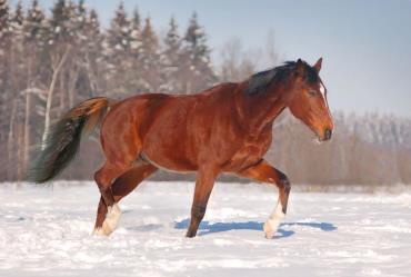 خصوصیات اسب دنیش وارم بلاد