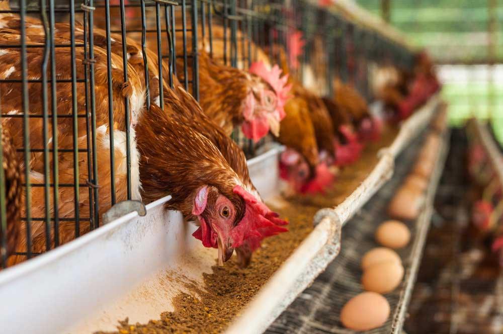 حفظ عملکرد مرغهای تخمگذار مسن