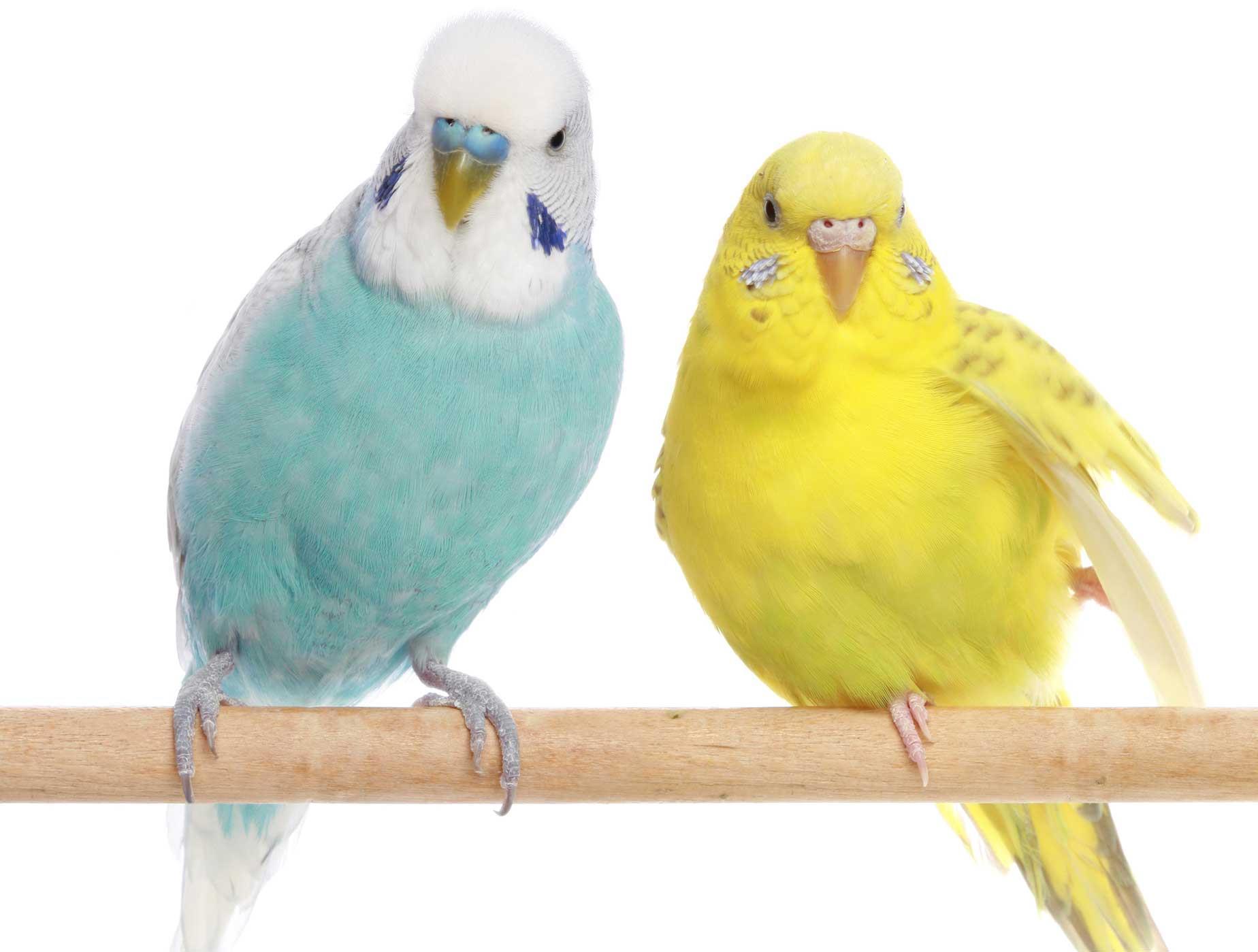 تفاوت ویتامنت و ویتالین پرندگان