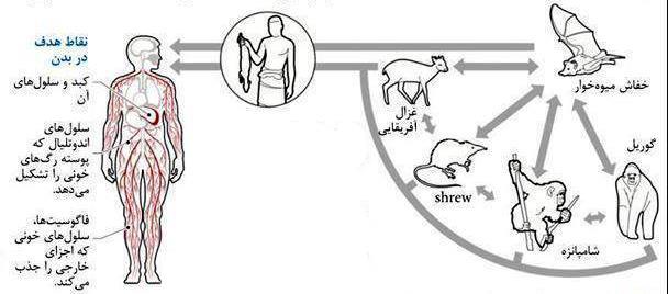 راههای انتقال بیماری ابولا