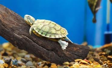 تولیدمثل لاکپشت برکهای