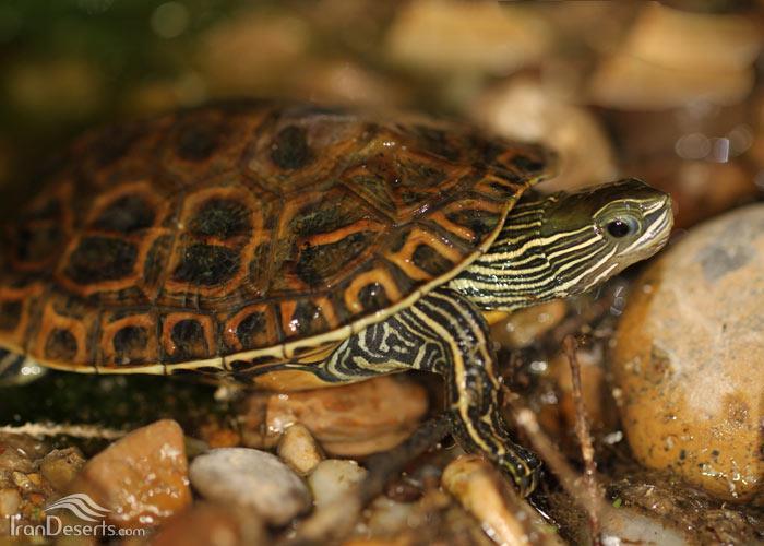 آشنایی با لاکپشت برکهای نحوه نگهداری از آن