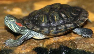 نگهداری لاکپشت گوش قرمز