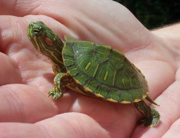 تشخیص سن لاکپشت گوش قرمز