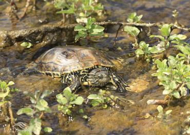 لاکپشتهای برکهای