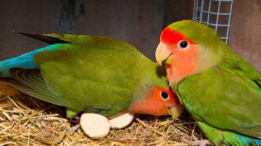 جفتگیری طوطی کوتوله برزیلی