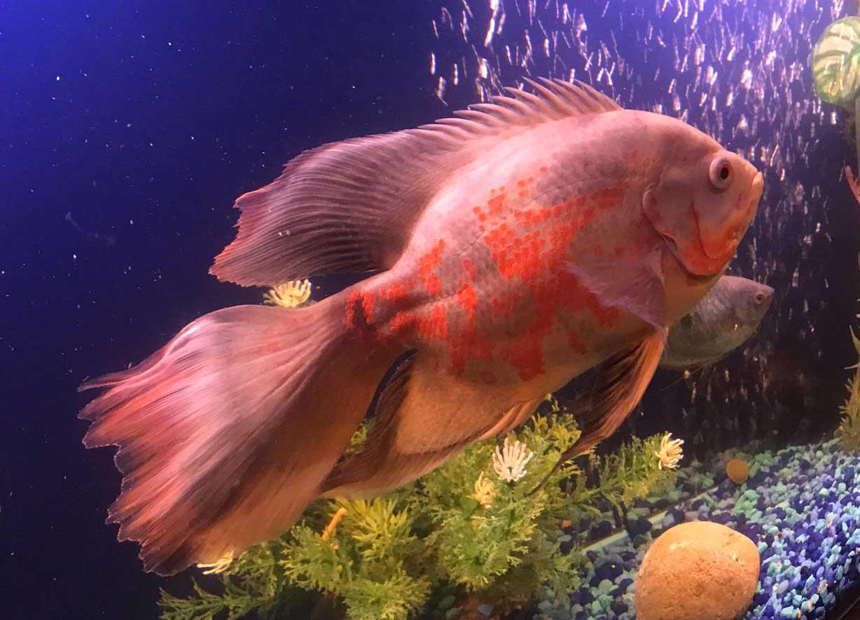ماهی اسکار باله بلند