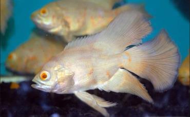 خصوصیات ماهی اسکار باله بلند