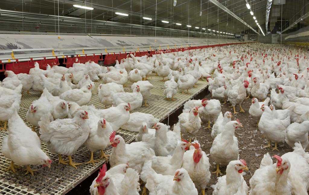 تقویت سلامتی مرغها با شناخت بیشتر جگر