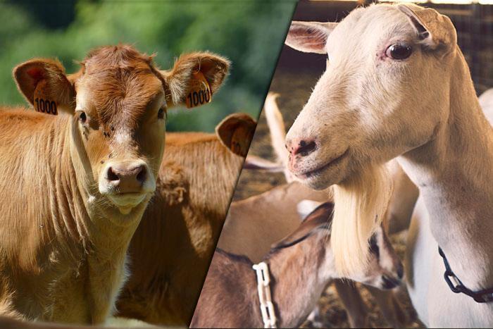 پرورش بز بهتر است یا گاو؟