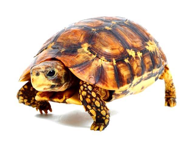 لاکپشت مهمیزدار Testudo graeca