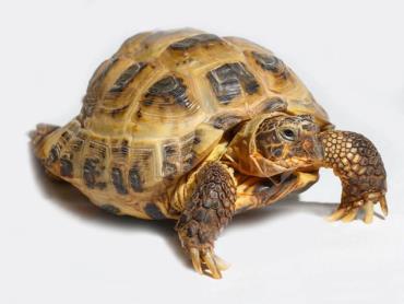 لاکپشت آسیایی Testudo horsfieldii