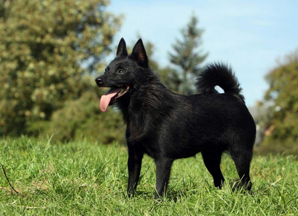 سگ نژاد اسچیپرکی (Schipperke)