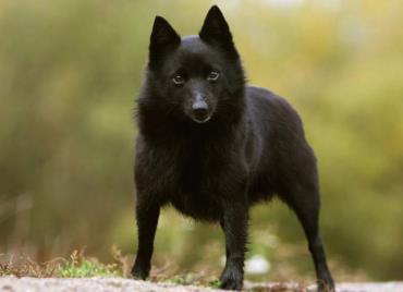 سگ اسچیپرکی