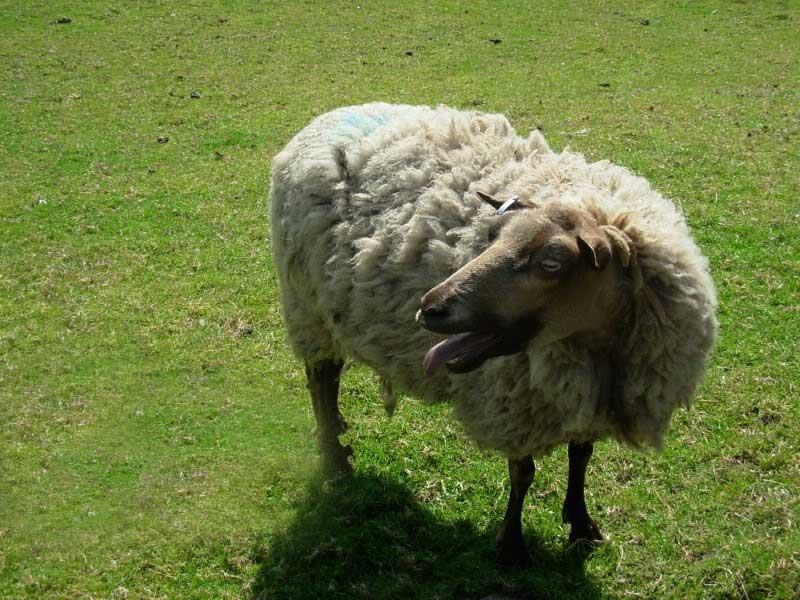 علت و درمان سرفه گوسفندان