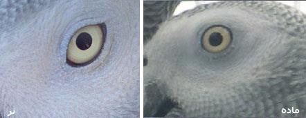چشم کاسکوی نر و ماده