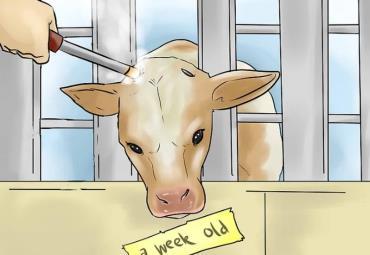در مدیریت درد، به سن گاو توجه کنید