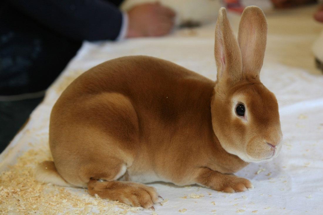 خرگوش مینی رکس (Mini Rex)
