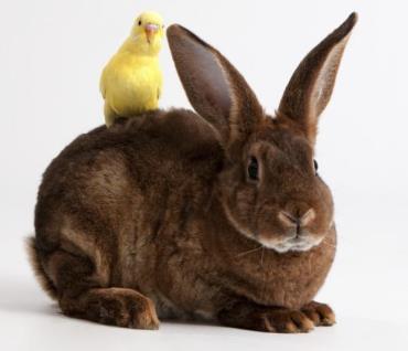 خصوصیات اخلاقی خرگوش مینی رکس