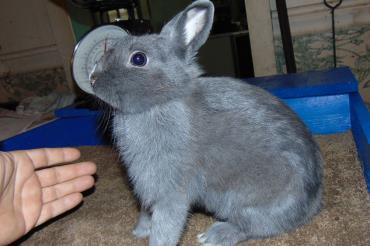 خرگوش نژاد مینی رکس