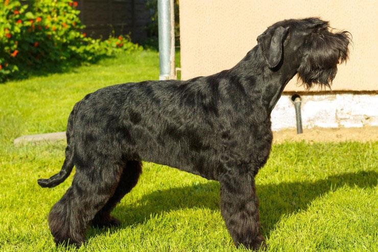 سگ نژاد اشنوزر غولپیکر