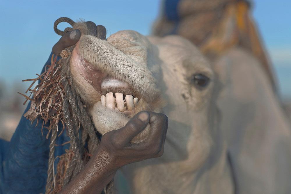 تعیین سن شتر از روی دندانها