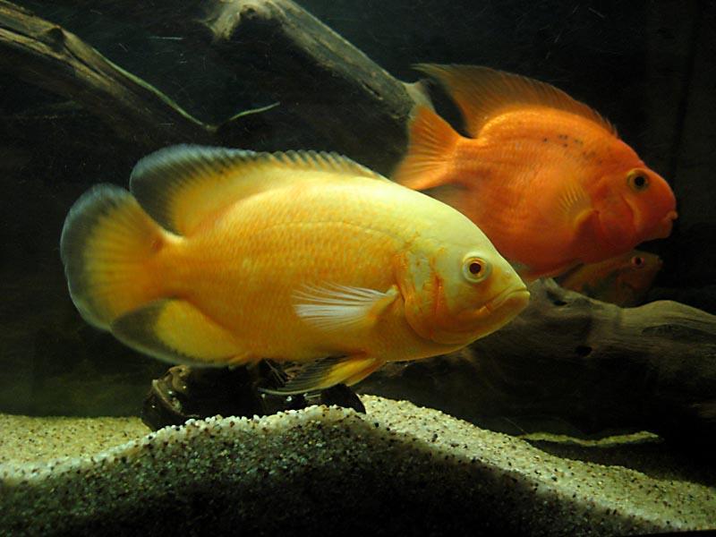 ماهی اسکار زرد