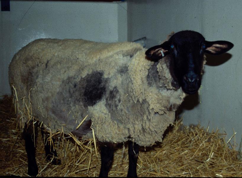 بیماری اسکرپی (Scrapie) در گوسفند و بز