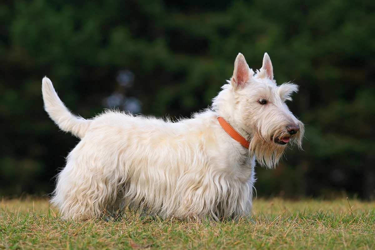 سگ نژاد اسکاتیش تریر (Scottish Terrier)