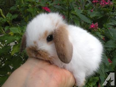 نگهداری خرگوش لوپ