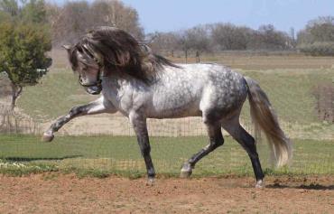 خصوصیات اسب اندلسی