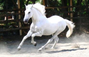 اسب اندلسی