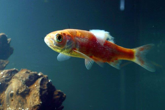 شناسایی ماهی بیمار در آکواریوم
