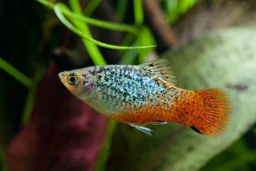 نگهداری و تکثیر ماهی پلاتی (platyfish)