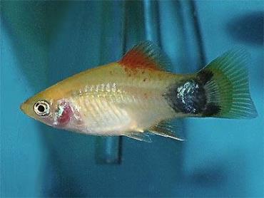 نگهداری ماهی پلاتی