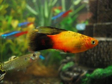 تکثیر ماهی پلاتی