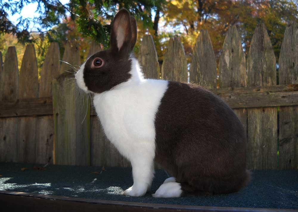 خرگوش نژاد هلندی