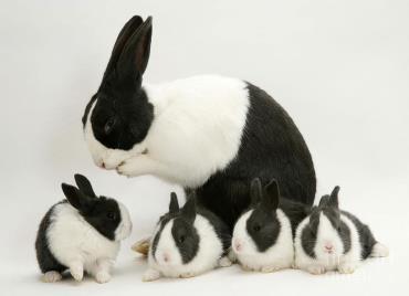 خلق و خوی خرگوش هلندی