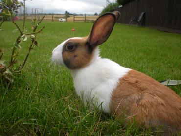 نگهداری خرگوش هلندی