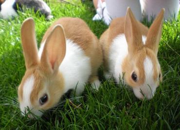 خرگوش هلندی