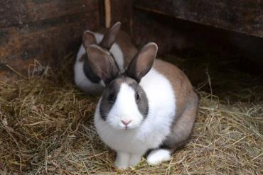 خوراک خرگوش