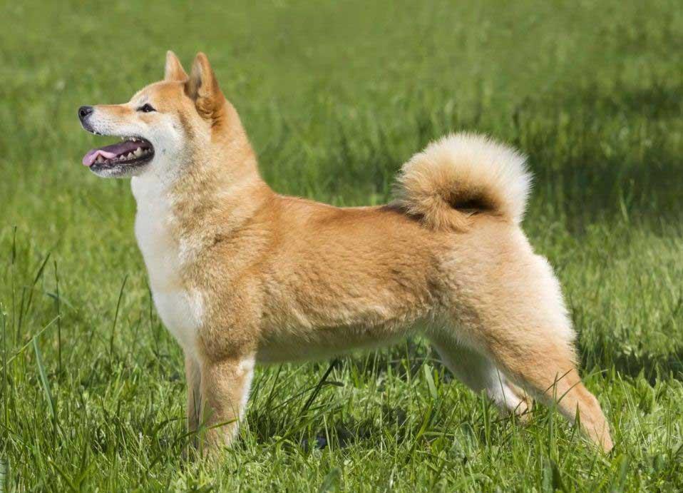 سگ نژاد شیبا اینو (Shiba Inu)
