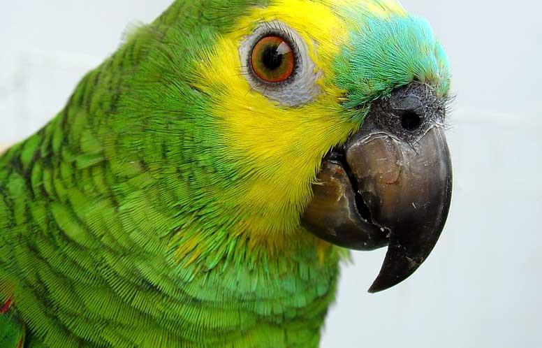 سلامت نوک در پرندههای خانگی