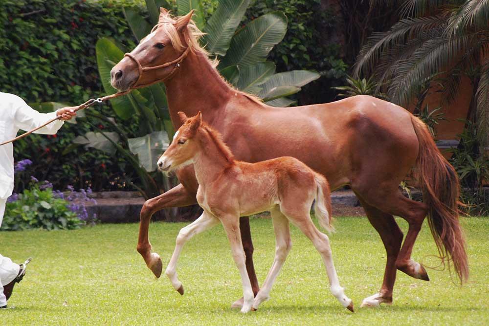 اسب نژاد پروین پاسو (Peruvian paso)